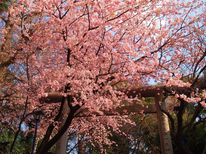 This beautiful image from http://lifetoreset.wordpress.com/2012/04/05/beginning-of-hanami-season-cherry-blossom-season/