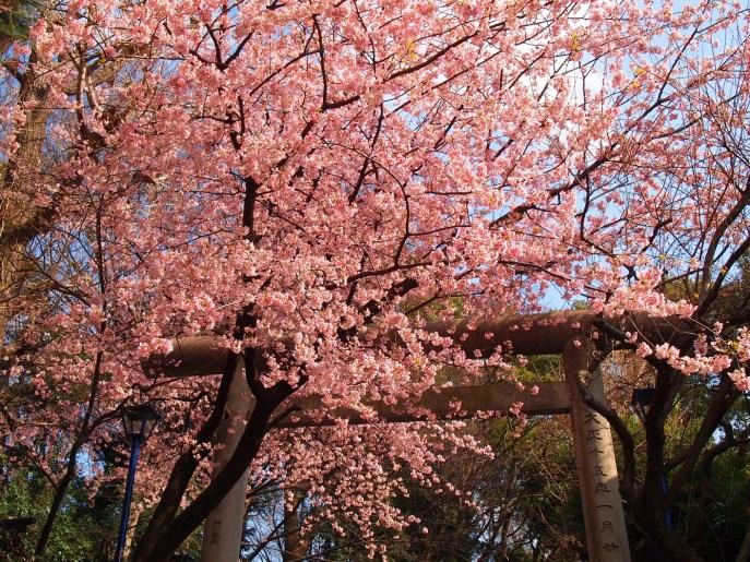 This beautiful image from http://lifetoreset.wordpress.com/2012/04/05/beginning-of-hanami-season-cherry-blossom-season/